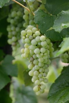 grapes july 05 038