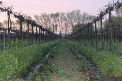 spring grape buds 05 w bear and tahoe 014
